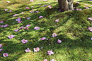 pink flowers on green moss under a tree in a Japanese garden
