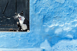 Cat yawning in doorway with blue wall, Chefchaouen, Morocco