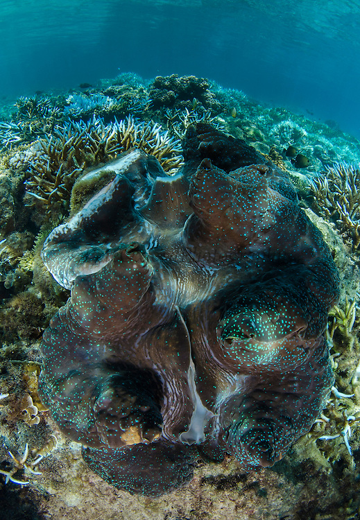 Giant Clam (Tridacna gigas)<br /> Fiji. South Pacific<br /> Open showing mantle