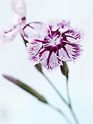 Dianthus 'Coste Budde' - pink