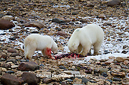 01874-12910 Two Polar bears (Ursus maritimus) eating Ringed Seal (Phoca hispida)  in winter, Churchill Wildlife Management Area, Churchill, MB Canada