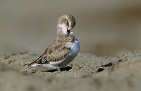 A snowy plover, Charadrius alexandrinus, preens its feathers.
