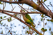 Alexandrine parakeet (Psittacula eupatria), also known as the Alexandrine parrot This Parakeet has established feral populations in various parts of the world including Israel, competes with the local wildlife and is considered a pest Photographed in Tel Aviv, Israel, in February
