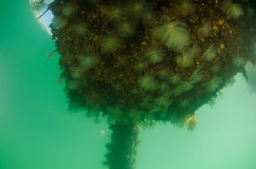 Mediterranean fanworm, Sabella spallanzanii marine pest in Auckland