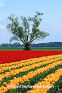 67221-007.11 Lone tree and red & yellow tulips in field  Skagit Valley  WA