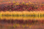 Colorful tundra reflections in a kettle pond, Denali National Park, Alaska.