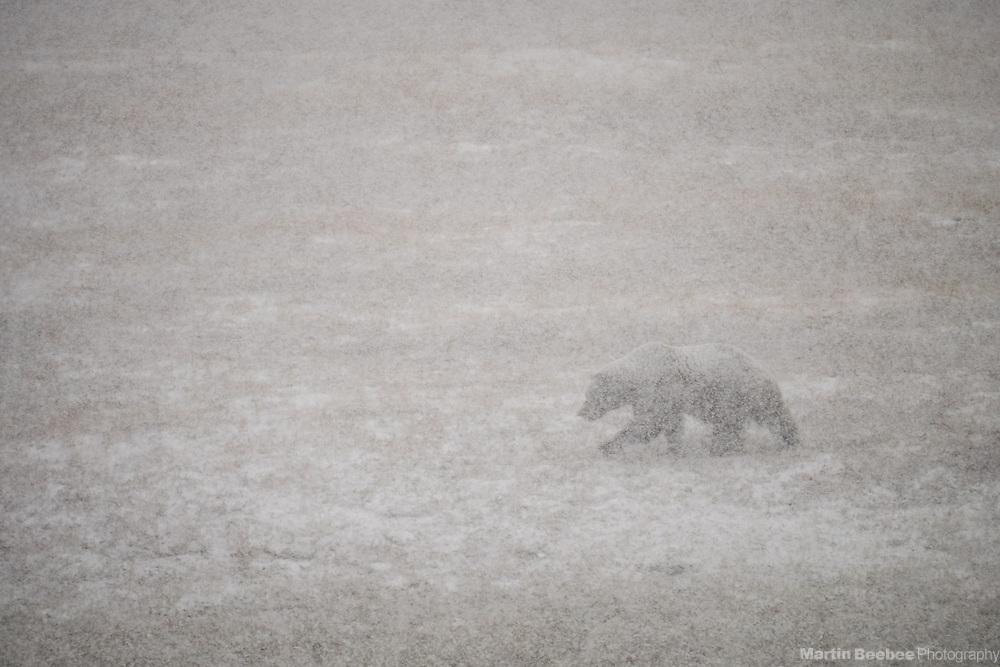 Grizzly Bear (Ursus arctos) in snowstorm, Denali National Park, Alaska