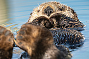A northern sea otter floats asleep in the Kachemak Bay at the City of Homer Port & Harbor marina in Homer, Alaska.