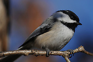 Black-Capped Chickadee close up while on a branch.