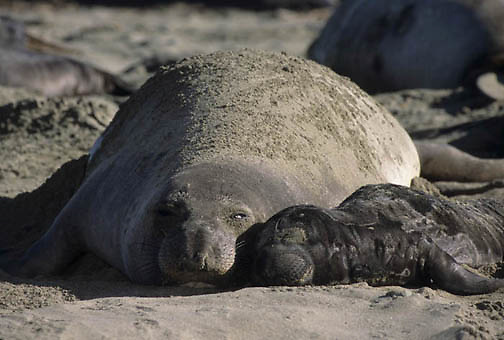 Northern Elephant Seal, (Mirounga angustirostris) Mother and pup. Mother flips sand onto back. California.