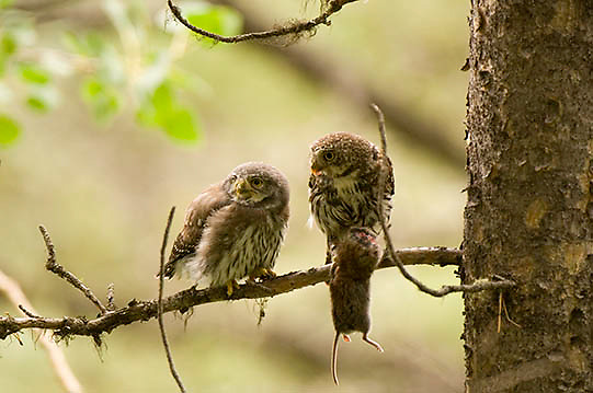 Northern Pygmy Owl ( Glaucidium gnoma) Adult feeding fledgling. Montana.