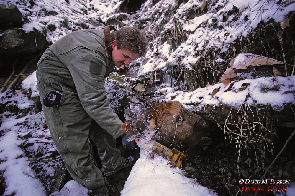 Recovering Elk Collar From Dead Elk