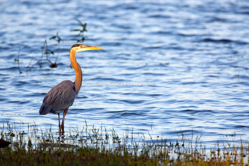 A great blue heron (Ardea herodias) hunts for fish along the banks of an estuary.