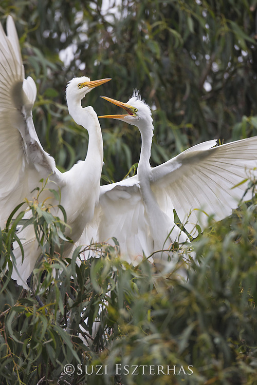 Great Egret<br /> Ardea alba <br /> Hungry four-week-old chick begging for food from parent<br /> Sonoma County, California