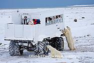 01874-11104 Polar bears (Ursus maritimus) near Tundra Buggy, Churchill, MB