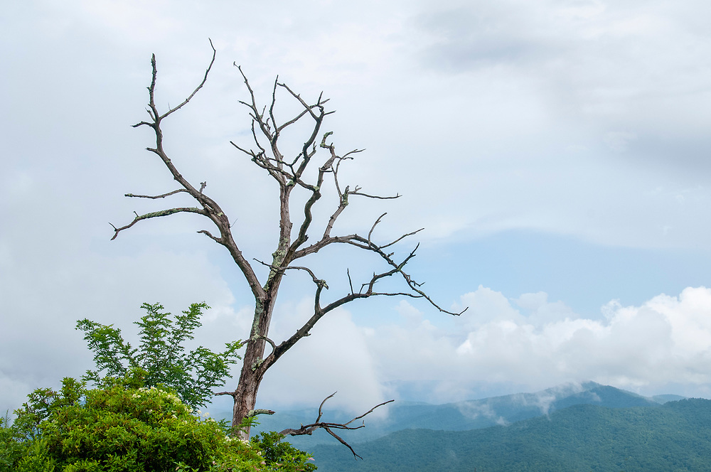 An old — and very much dead — tree at the Cradle of Forestry Overlook at Milepost 411 on the Blue Ridge Parkway in North Carolina on Friday, August 14, 2020. Copyright 2020 Jason Barnette