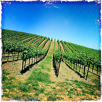 2013 May 13:  Williams Selyem Winery in Sonoma County's Russian River Valley.  Pinot Noir grape vines in summer sunlight in Healdsburg, California.  iPhone, Hipsta photo.