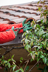 Cutting back a climbing Trachelospermum jasminoides - Star jasmine -  that is getting into roof tiles