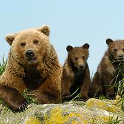 Alaskan Brown Bear (Ursus middendorffi) mother with her cubs. Katmai National Park, Alaska