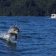 Dolphins in playful mood in Queen Charlotte Sound, South Island, New Zealand..The dolphins are viewed by tourists on a 'swimming with Dolphins' trip with Dolphin Watch Eco Tours, run out of Picton, South Island, New Zealand. 27th January 2011. Photo Tim Clayton..