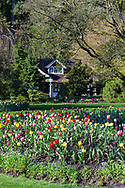 Spring tulips at the Stanley Park Rose Garden flower beds in front of the Rose Garden Cottage (built in 1914) at Stanley Park, Vancouver, British Columbia, Canada