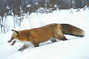 Red Fox ( Vulpes fulva ) Minnesota ,USA  fox in snow