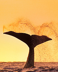 humpback whale, Megaptera novaeangliae, lobtailing or tail slapping at sunset, silhouette of fluke or tail fin, Hawaii, USA, Pacific Ocean