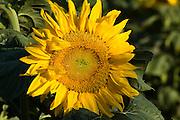 Israel, Sunflower field