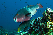 Bicolor Parrotfish (Scarus rubroviolaceus)<br /> off of Wolf Island in the northern archepelago<br /> Galapagos Islands<br /> ECUADOR.  South America<br /> RANGE: These fish are common to occasional in the entire archipelago and north to Baja as well as tropical Indo-Pacifific<br /> They inhabit rocky, boulder strewn reefs and slopes. Most common on reefs with reef building stony corals. They feed by scaping algae from rocks and corals.