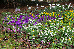 Snowdrops, crocus and winter aconites growing in the wild area by the churchyard. Galanthus, Eranthis hyemalis