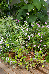 Pelargoniums and schizanthus in the glasshouse
