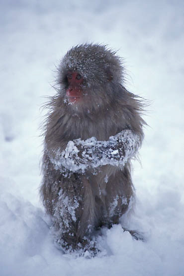 Snow Monkey or Japanese Red-faced Macaque, (Macaca fuscata) Playing in snow. Japan