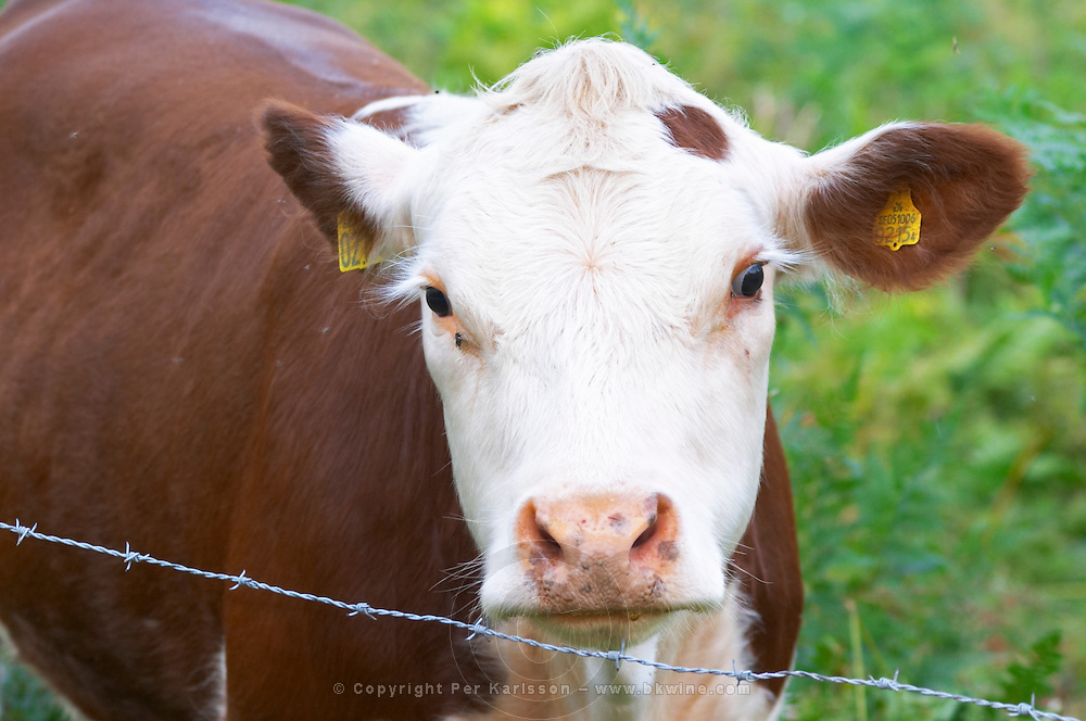 Calf Cow Brown and white. Barbed wire fence. Smaland region. Sweden, Europe.