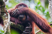 A portrait of an orangutan (Pongo pymaeus) covering his eyes with his hand, Tanjung Puting National Park, Central Kalimantan, Borneo, Indonesia