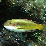 Bluelip Parrotfish inhabit shallow seagrass beds, occasionally in coral rubble mixed with gorgonians in Tropical West Atlantic; picture taken St. Vincent.