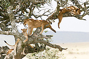 Africa, Tanzania, Serengeti National Park, A pride of Lions (Panthera leo) on a tree