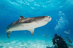 Tiger Shark, Galeocerdo cuvier, and scuba diver, West End, Grand Bahama, Bahamas, Caribbean, Atlantic Ocean