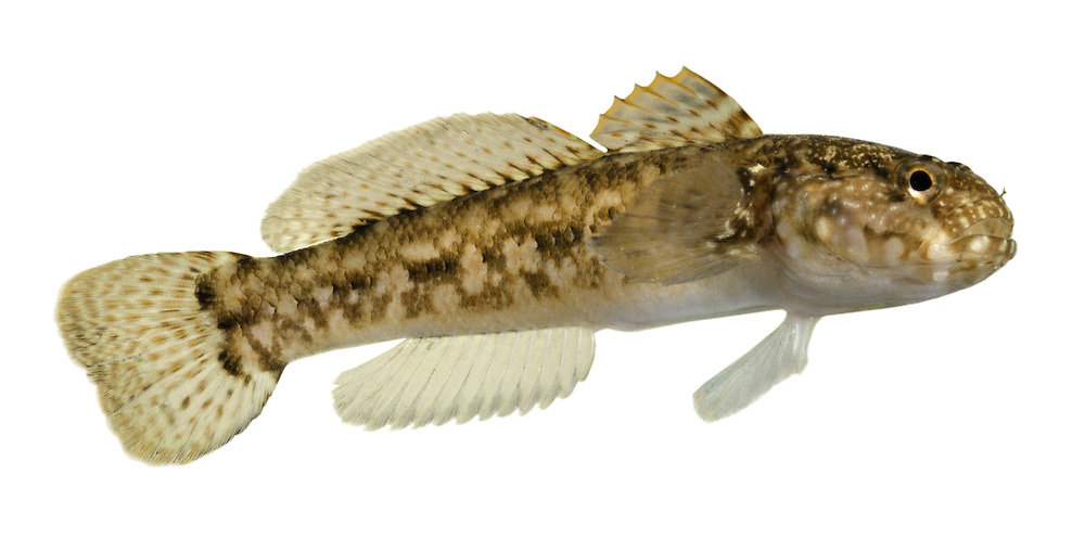 Rock Goby Gobius paganellus Length to 12cm<br /> Robust goby. Found in pools and under rocks on lower shore. Adult has relatively large head and tail. Typically body is marbled brown, buff and grey but some individuals can be very dark (especially in spring) leading to confusion with Black Goby. Pale, yellowish-orange outer margin to 1st dorsal fin is diagnostic. It also has more than 50 scales along lateral line. Locally common in S and W; scarce elsewhere.