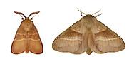 Fox Moth - Macrothylacia rubi<br /> 66.008 BF1638