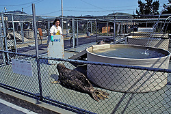 Working With Elephant Seal, The Marine Mammal Center