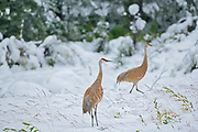 Sandhill cranes (Antigone canadensis) in early snow storm<br />Pink Mountain<br />British Columbia<br />Canada