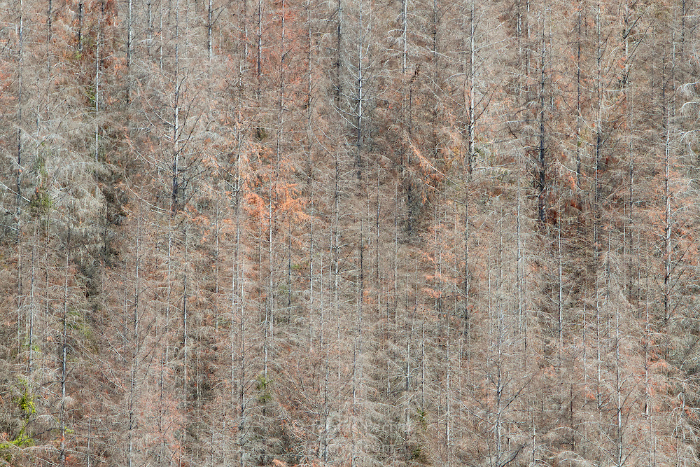 Stand of Douglas firs that have been poisoned in an attempt to control their spread, in the Kawarau Gorge, New Zealand.