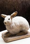 Rabbit on display at the Fairbanks Museum & Planetarium in St. Johnsbury, Vermont.