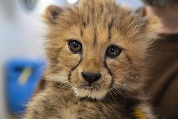 Youngs cheetahs at the Lunaret Parc. Montpellier le 9 février 2019. Photo by Eric Beracassat/ABACAPRESS.COM