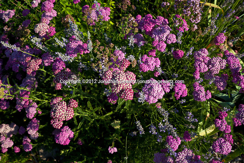 Overhead view of violet or purple wildflowers in a garden. WATERMARKS WILL NOT APPEAR ON PRINTS OR LICENSED IMAGES.