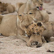 African lion mother cleaning and nurturing young cubs. Londolozi Game Reserve, South Africa