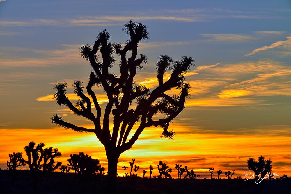 Joshua trees at sunrise, Joshua Tree National Park, California, USA