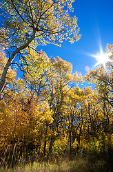 """""""Aspens at Monitor Pass""""- These aspens are in a large aspen grove located along Monitor Pass. Monitor Pass connects Hwy. 89 with Hwy. 395 near Markleeville and Topaz Lake.<br /> Photographed: October 2005"""