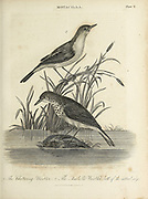 Chattering warbler and Isabella warbler at water's edge Copperplate engraving From the Encyclopaedia Londinensis or, Universal dictionary of arts, sciences, and literature; Volume XVI;  Edited by Wilkes, John. Published in London in 1819
