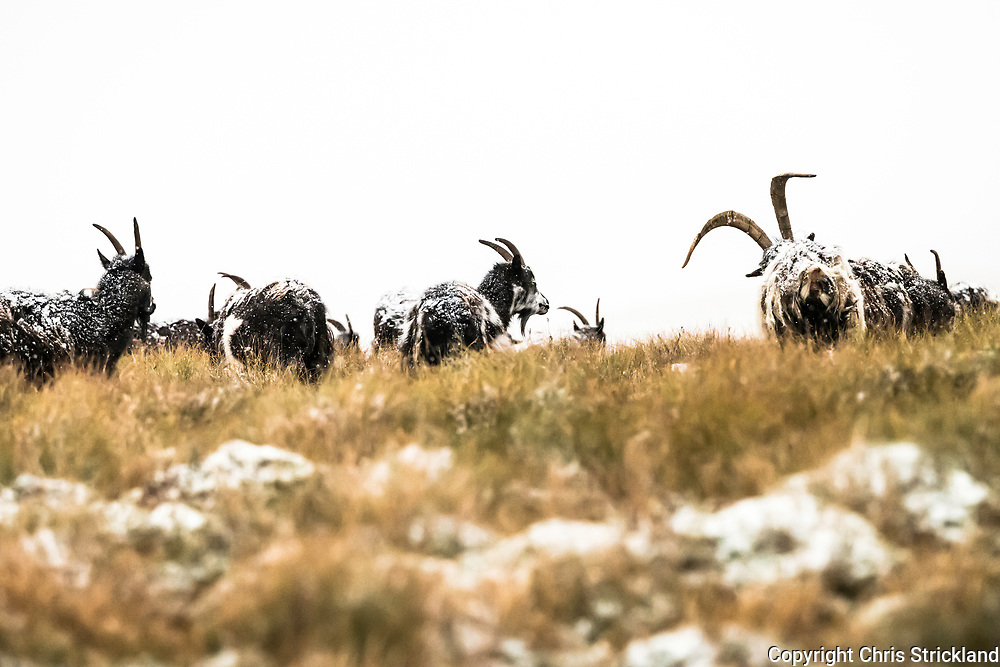 Hownam, Jedburgh, Scottish Borders, UK. 13th November 2017. Feral goats brave snow and freezing temperatures  on the Anglo Scottish Border and the Pennine Way in the Cheviot Hills on Blackhall Hill (481m). The goat herds in the region are believed to be the purest descendants from the neolithic era which came to Britain from the Middle East.